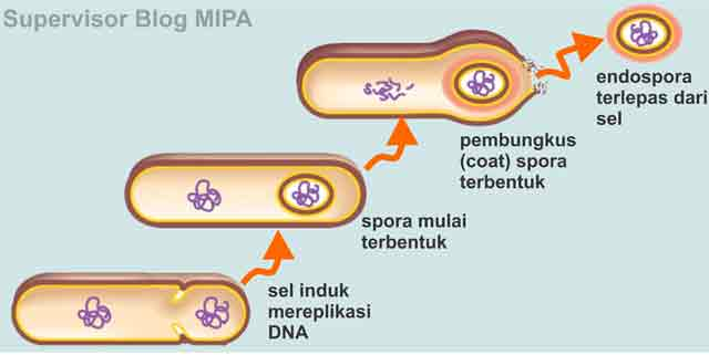 reproduksi atau perkembangbiakan bakteri secara aseksual melalui pembentukan endospora