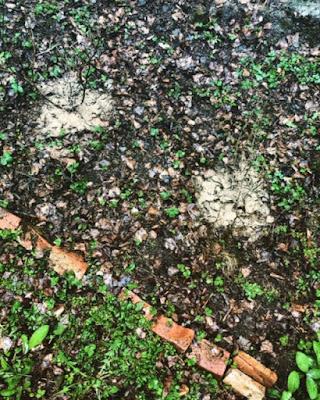 Kaksi pensasmustikkaa on saanut keväisen rodolannoitteensa ja odottaa vettä