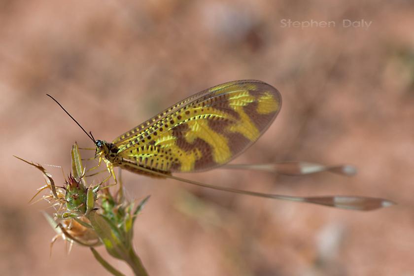 Thread-winged-Lacewing (Nemoptera bipennis)