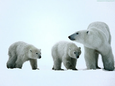 bears normal resolution hd desktop background wallpaper 15