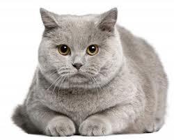Pupile Człowieka Kot Brytyjski Krótkowłosy