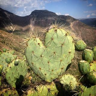 Un nopal con forma de corazón.  Desierto de Wirikuta, tierra sagrada   de los indígenas Wirrárika, en la   Sierra de Catorce, México