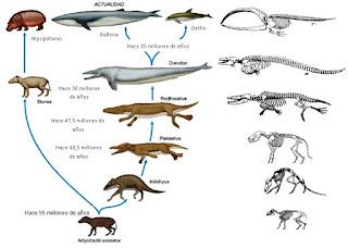 Resultado de imagen para evolucion ballenas