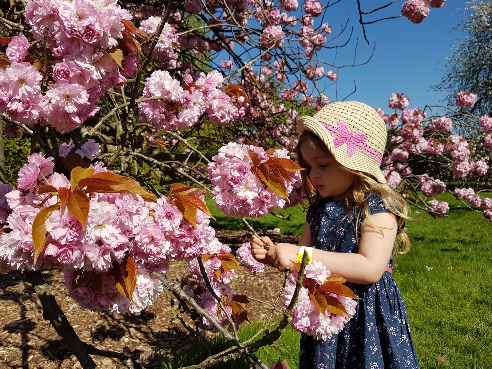 child picking flowers form pink cherry flower tree at kew gardens