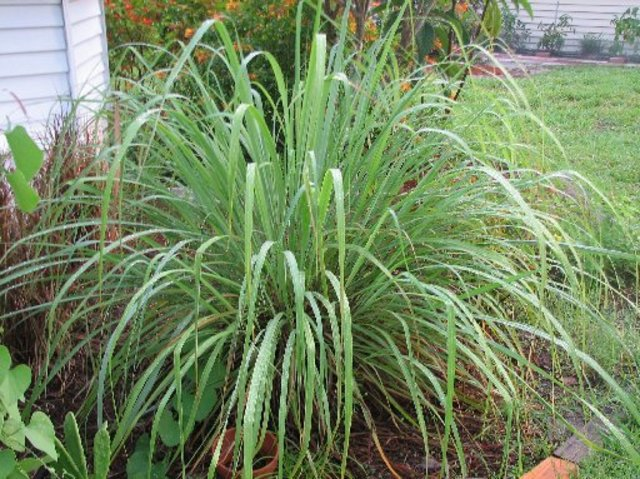 Daylilybreeder for Tall border grass