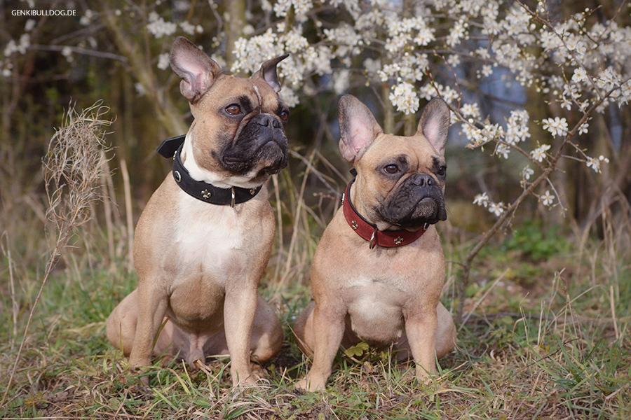 Hundezubehör von Puppy & Prince Halsband Französische Bulldogge