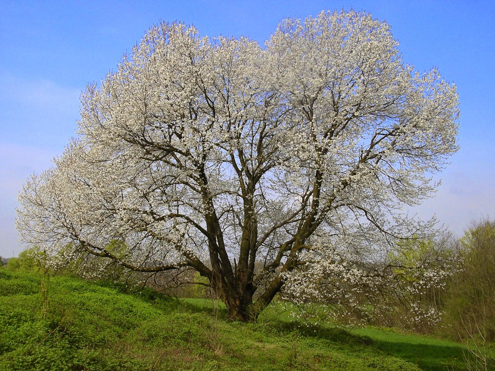 Brianza centrale la fioritura del ciliegio monumentale di - Ciliegio da giardino ...