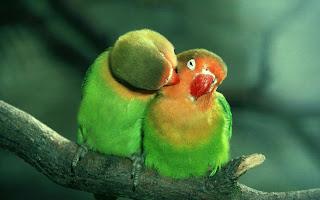 Casal de passarinhos