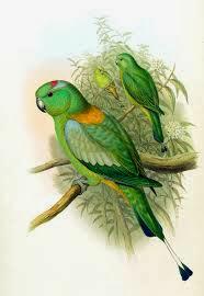 Lorito momoto dorso dorado: Prioniturus platurus