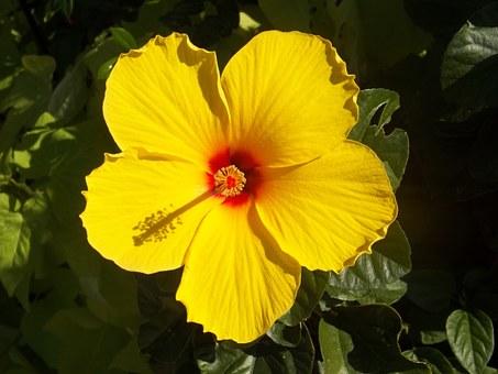 Medicinal Plants Hibiscus
