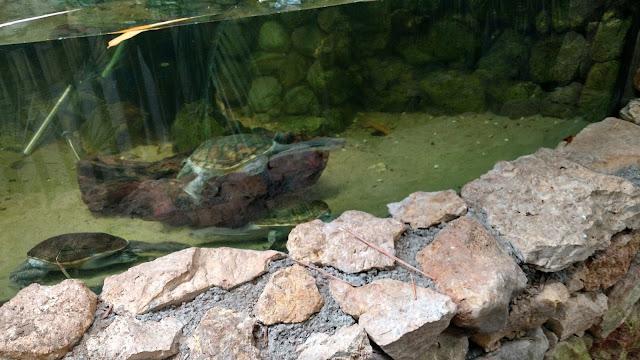 צבי מים