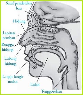 Bagian bagian hidung manusia beserta fungsinya