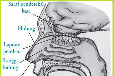 Bagian-bagian, Fungsi Dan Urutan Proses Membau Pada Hidung Disertai Gambarnya
