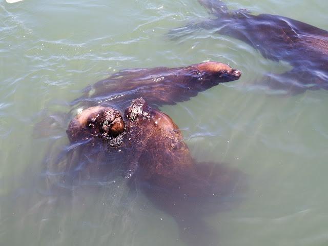 Arica Seelöwen Seelions Chile Hafen