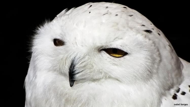 97c038898 Primeiramente falaremos das corujas,que possuem grandes olhos e são  conhecidas como as rainhas da noite.
