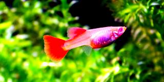 Info habitat asli ikan guppy albino full red