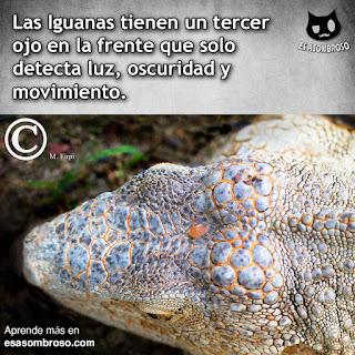 Las Iguanas tienen un tercer ojo en la frente que solo detecta luz, oscuridad y movimiento.