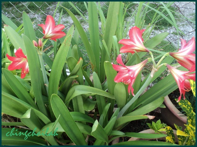 Growing Red Trumpet Lily