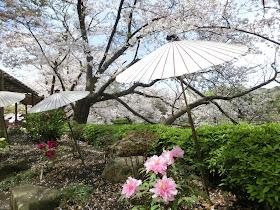 鶴岡八幡宮・桜と春ぼたん
