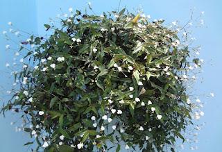Resultado de imagem para planta Véu-de-noiva