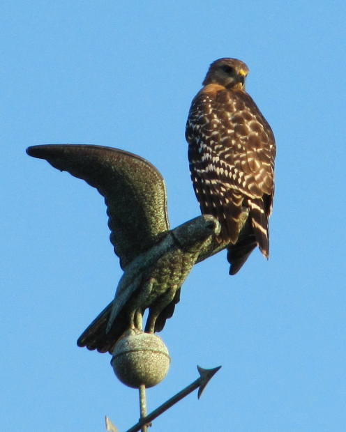 Red Shouldered Hawk, Central Florida