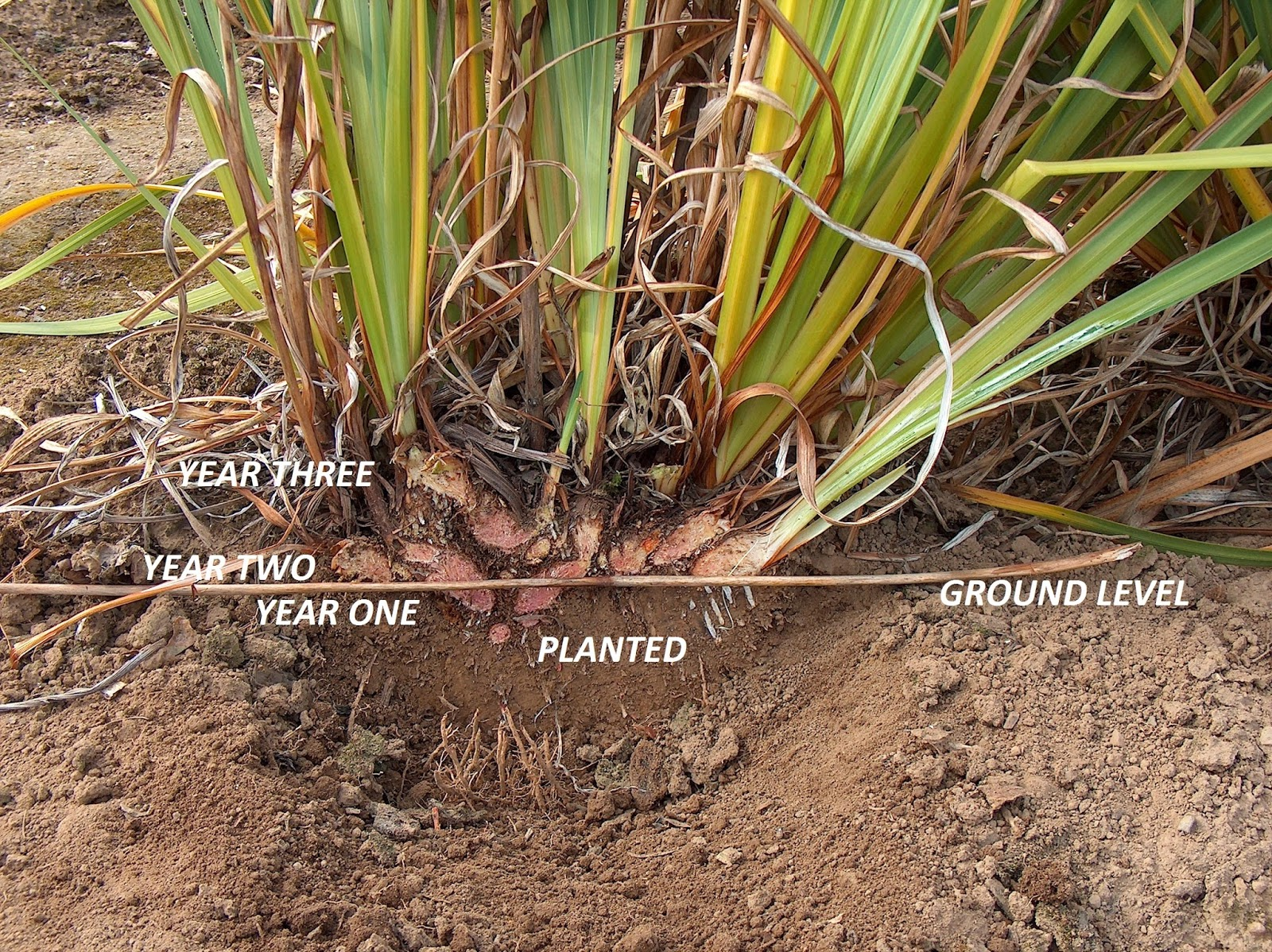 Irises: when to transplant and in what ways 6