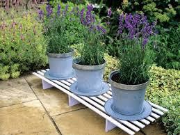 merawat-bunga-lavender.jpg