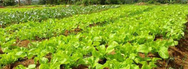 Bahan Pangan hasil Pertanian Organik Dipasarkan dengan Teknologi Komunikasi