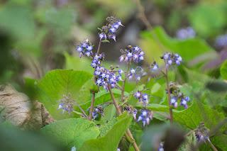 Trachystemon orientalis in flower