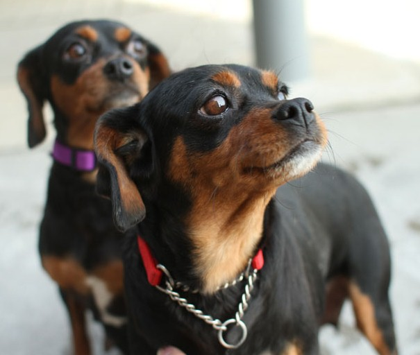 About Dog Miniature Pinscher Training