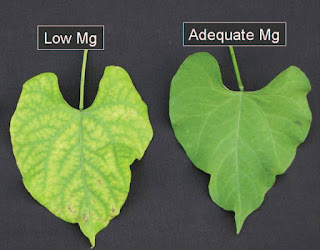 chlorosis in plants