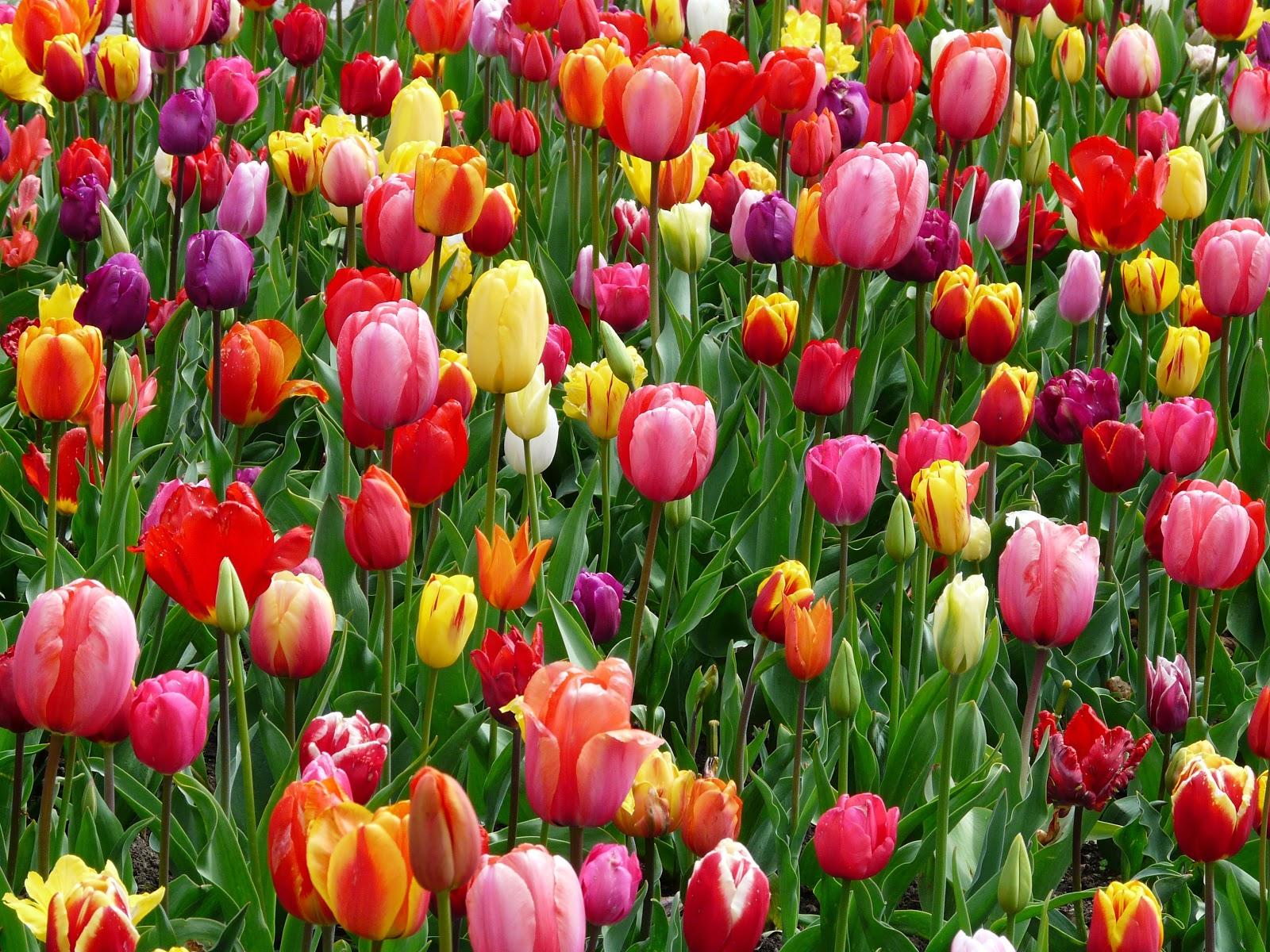 色とりどりに咲いたチューリップ