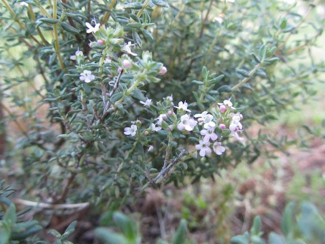 Fiori Thymus vulgaris