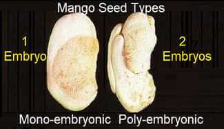 Picture of Monoembryonic and Polyembryonic mango Seed