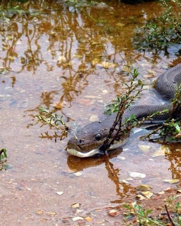 Píton é apanhada a devorar um crocodilo