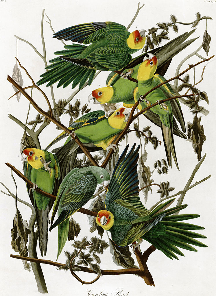 Carolina Parakeets I'On Swamp