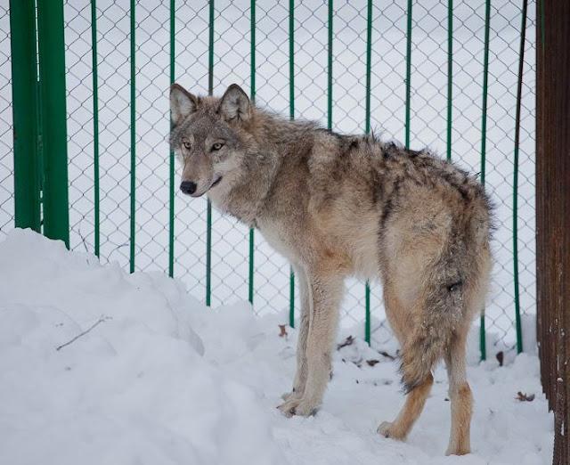 В Белебеевском районе к деревне пришли волки