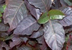 Foto Obat wasir herbal yang mujarab