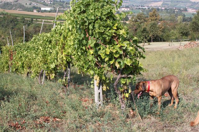 Bologna, Valsamoggia - Viinitarhoja ja koirahommia 35
