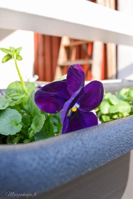 orvokki kevät kukka kevätkukkija istuttaminen orthex