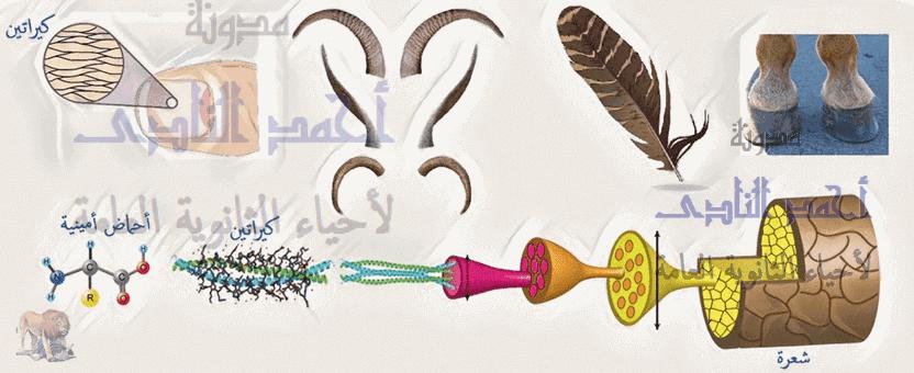 الأحماض النووية وتخليق البروتين - البروتينات التركيبية - الكيراتين - الثالث الثانوى