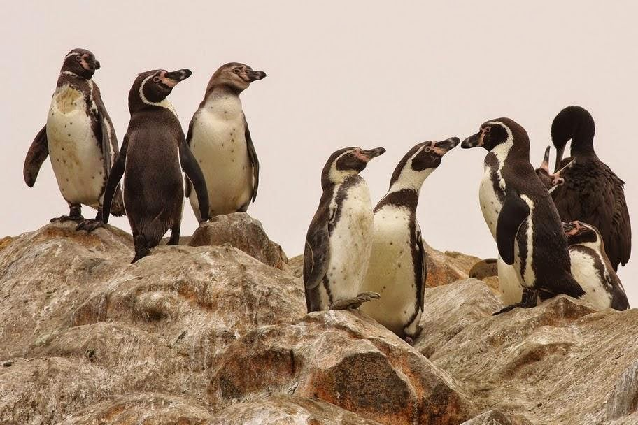 pinguino de Humboldt Spheniscus humboldti
