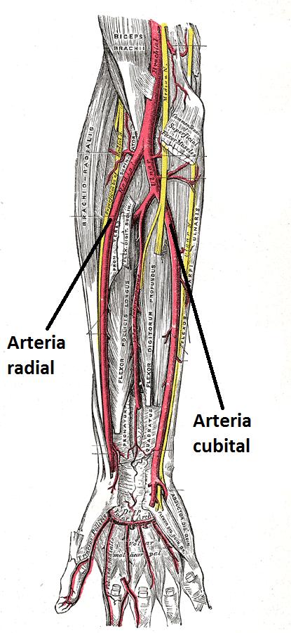 circulación arterial de la mano