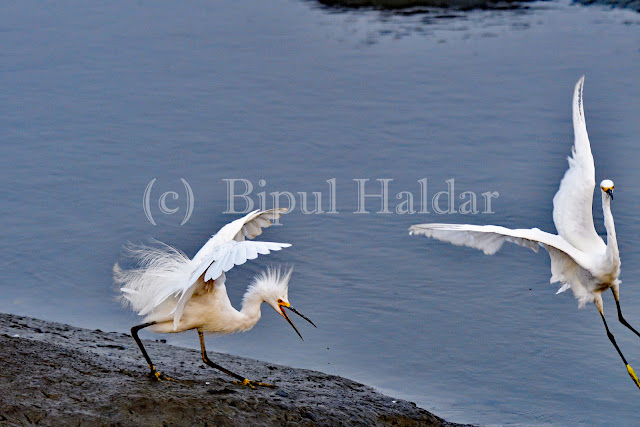 Snowy Egret Fighting