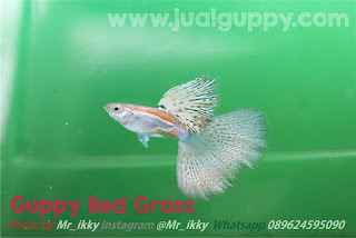 Jual Guppy Champion,  Harga Guppy Champion,  Toko Guppy Champion,  Diskon Guppy Champion,  Beli Guppy Champion,  Review Guppy Champion,  Promo Guppy Champion,  Spesifikasi Guppy Champion,  Guppy Champion Murah,  Guppy Champion Asli,  Guppy Champion Original,  Guppy Champion Jakarta,  Jenis Guppy Champion,  Budidaya Guppy Champion,  Peternak Guppy Champion,  Cara Merawat Guppy Champion,  Tips Merawat Guppy Champion,  Bagaimana cara merawat Guppy Champion,  Bagaimana mengobati Guppy Champion,  Ciri-Ciri Hamil Guppy Champion,  Kandang Guppy Champion,  Ternak Guppy Champion,  Makanan Guppy Champion,  Guppy Champion Termahal,  Adopsi Guppy Champion,  Jual Cepat Guppy Champion,  Kreatif Guppy Champion,  Desain Guppy Champion,  Order Guppy Champion,  Kado Guppy Champion,  Cara Buat Guppy Champion,  Pesan Guppy Champion,  Wisuda Guppy Champion,  Ultah Guppy Champion,  Nikah Guppy Champion,  Wedding Guppy Champion,  Flanel Guppy Champion,  Special Guppy Champion,  Suprise Guppy Champion,  Anniversary Guppy Champion,  Moment Guppy Champion,  Istimewa  Guppy Champion,  Kasih Sayang  Guppy Champion,  Valentine  Guppy Champion,  Tersayang Guppy Champion,  Unik Guppy Champion,