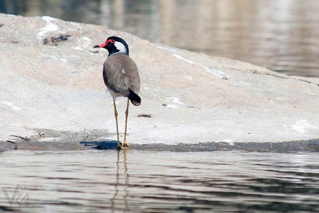 Red-wattled lapwing - Ranganathittu Bird Sanctuary