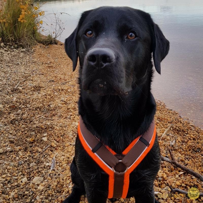 Schwarzer Labrador auf Diät