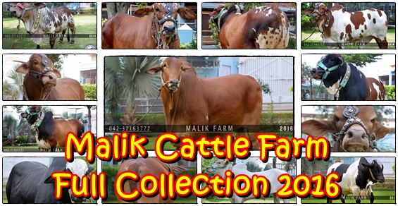 Malik Cattle Farm Full Collection 2016