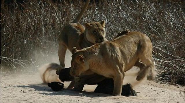 GILA! Nabi Palsu Coba Buktikan Mukjizat Ganggu Kawanan Singa, Akibatnya Fatal!