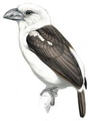 Lybius leucogaster